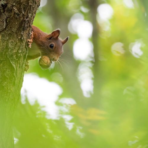 squirrel nut