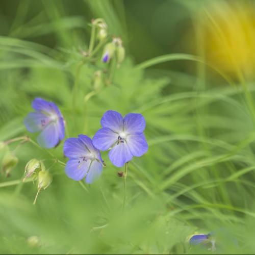 slovnia flowers